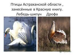 Презентация на тему Птицы Астраханской области занесённые в  1 Птицы Астраханской области занесённые в Красную книгу Лебедь шипун Дрофа