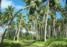 parts of the coconut tree used in seychelles seychelles news  9 parts of the coconut tree used in seychelles