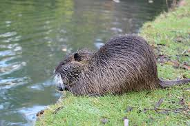 Rodents Lower Classifications The Fur Feather Fin Guide To British Wildlife Rodents