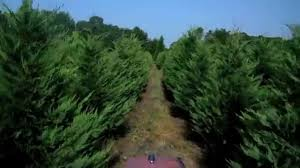 LEYLAND CYPRESS CHRISTMAS TREES - Our Best Crop Ever! - YouTube