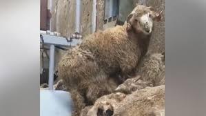 Sfârșit tragic pentru oile salvate de pe vaporul scufundat la Midia