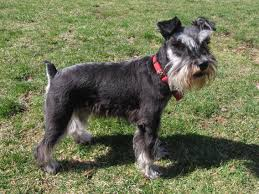 the schnauzer is a breed said to have originated in germany and is said to be a cross between a poodle and affenpinscher schnauzers e in three