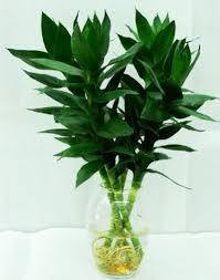 office feng shui plants. Feng Shui Plant For Prosperity Lucky Bamboo Office Plants -