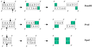 Restriction Enzyme Restriction Map