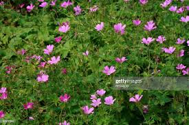 "Geranium ""Clarice Bruce"". cranesbill. News Photo - Getty Images"