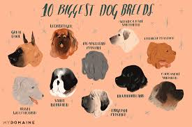 Dog Lifespan Chart By Breed The 10 Biggest Dog Breeds In The World