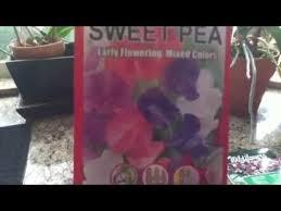 How To Germinate Flower Seeds Paper Towel Sweet Peas Paper Towel Zip Lock Germination Then Peat Pod Or