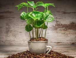 Coffee plants produce not only the all important coffee bean, but they make terrific houseplants too. Coffee Plant Guide How To Grow Care For Coffea Arabica