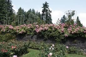 картинки дерево цвести цветок Роза ботаника Флора  дерево цвести растение цветок Роза ботаника сад Флора Кустарник Ботанический сад контрольная работа portland цветущее растение