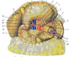 Реферат Рак желудка ru Рисунок 2 Артерии органов брюшной полости вид спереди