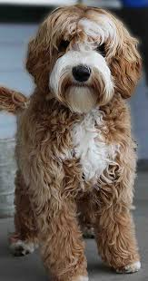Small Picture The 25 best Australian labradoodle ideas on Pinterest