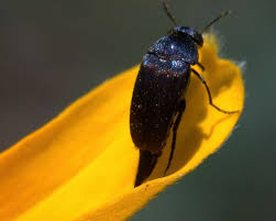 Flower Beetle #2 - Aubrey Moat - Photography, Animals, Birds, & Fish, Bugs  & Insects, Beetles, Other Beetles - ArtPal