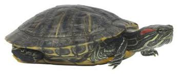 How To Tell A Boy Red Eared Turtle From A Girl Animals