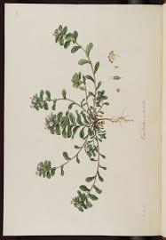 Convolvulus humilis Jacq. (Convolvulaceae)