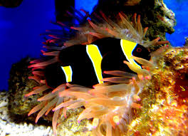 black and yellow clown fish.  Black IMG To Black And Yellow Clown Fish 3Reef