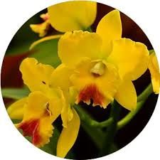 cymbidium orchid cymbidium