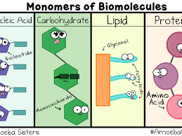 Macromolecules Biochemistry Carbohydrates Proteins Lipids And Nucleic Acids