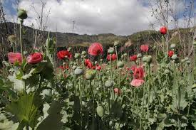 guerrero is the biggest producer of opium poppies in mexico