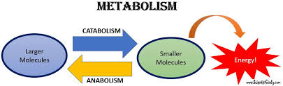 Image result for metabolism