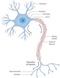 What Are The Parts Of The Nervous System Nichd Eunice