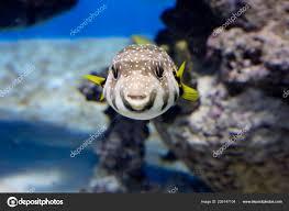 starry fish puffer fish has white