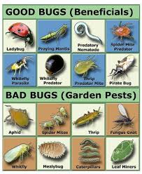natural garden pest control you really need to be careful introducing non native bugs into your area asian ladybugs were brought here they are not the