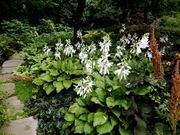 how and when to plant hostas diy
