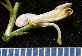 Fumaria judaica Boiss. | Flora of Israel Online
