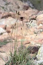 Carex fimbriata - Legge regionale 10 - Flora e piccola fauna protette ...