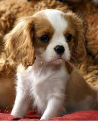 364 best beautiful cavalier king charles spaniels images on cavalier king charles king charles spaniels and little dogs