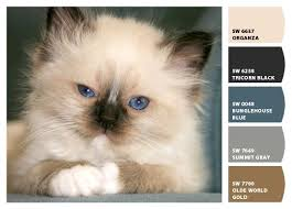 Birman Kitten Colors Paint Colors From Chip It By