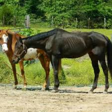 the thin horse how to gain weight