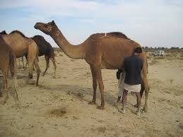 Image result for marrakech camel raziq cholistan