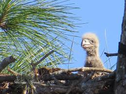 florida eagle cam. Contemporary Eagle The Eaglet E5 Has Died Reports The Southwest Florida Eagle Cam Facebook  Page Photo By Hellene Grundler And A