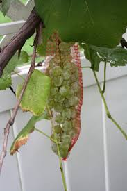 how to keep birds away from garden. Grapes In A Bag How To Keep Birds Away From Garden