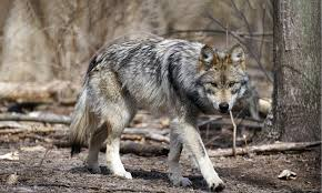 Wolf Species Size Chart Mexican Gray Wolf Defenders Of Wildlife