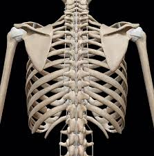 The ribs are curved, flat bones which form the majority of the thoracic cage. 3d Skeletal System Bones Of The Thoracic Cage