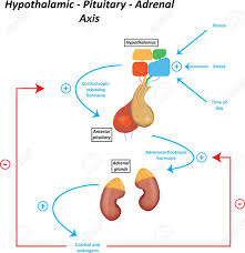 Hypothalamic Pituitary Adrenal Axis Royalty Free Cliparts Vectors
