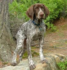 best hunting dogs breeds