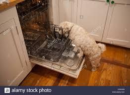 Miniature Dishwasher A Shih Tzu Dog Licks Dirty Dishes In A Dishwasher Stock Photo