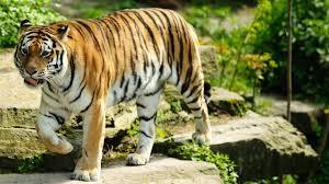 tiger wallpaper desktop. Modren Desktop Tiger Wallpapers Throughout Wallpaper Desktop P