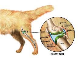 Cómo cuidar la artritis canina