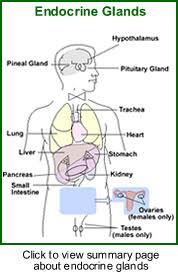 testes  endocrine gland diagram of the human endocrine glands