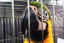 Resultado de imagem para apreensão de aves silvestres