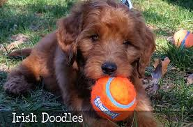 Goldendoodle F1b Facts
