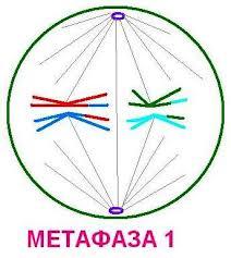 Количество хромосом и молекул ДНК в разные фазы митоза и мейоза