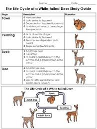 Fawn Age Chart White Tailed Deer Life Cycle Study Guide Outline King