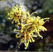witch hazel s fragrant blooms add