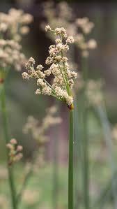 Scirpoides holoschoenus – Wikipédia, a enciclopédia livre