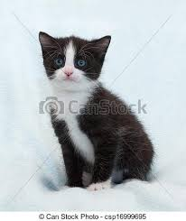 fluffy black kittens with blue eyes. Simple Fluffy Black And White Fluffy Kitten With Blue Eyes Sits Stares  Csp16999695 With Fluffy Kittens Blue Eyes L